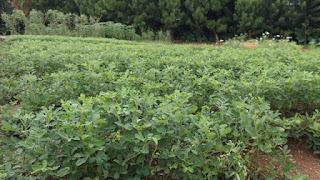 Cara budidaya kacang tanah organik