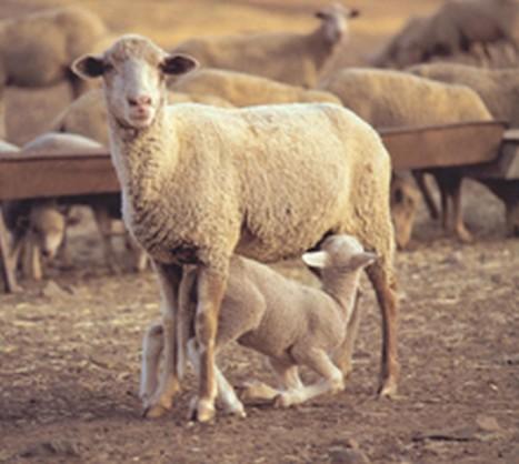 leche de oveja en espana: