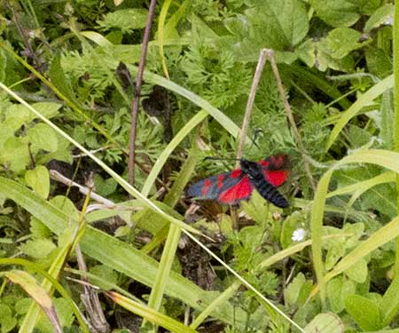Six-spot Burnet, Zygaena filipendulae stephensii, in flight. High Elms Country Park, 2 August 2012.
