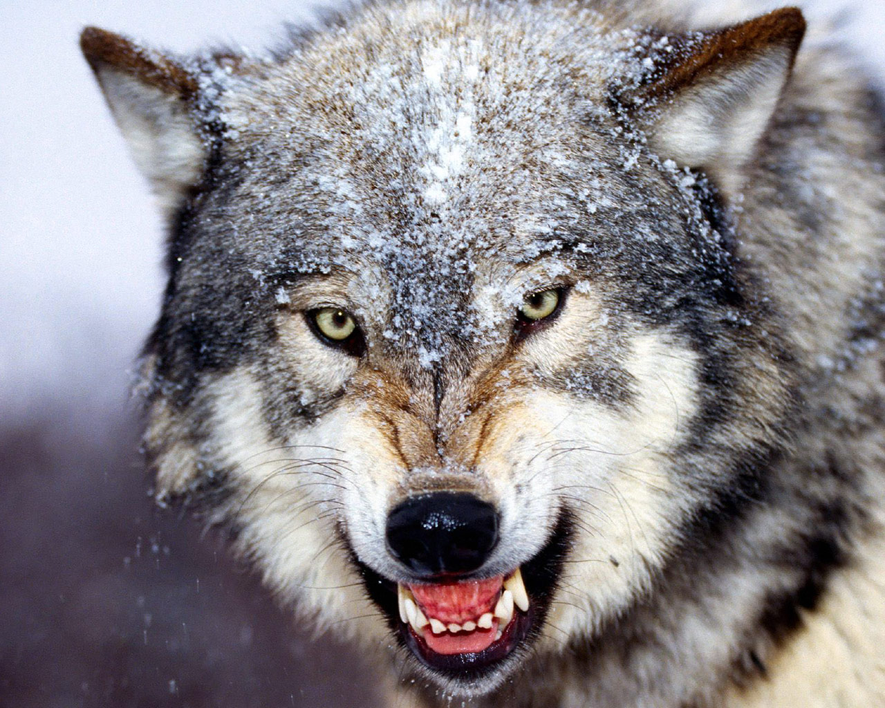 Bared Teeth Grey Wolf