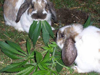 funny picture rabbits eat cannabis plant