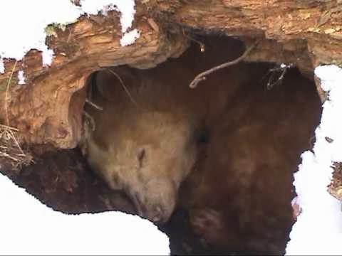 Pardo hibernação urso