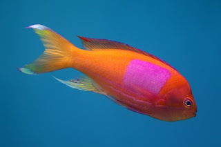 Squarespot anthias (male)