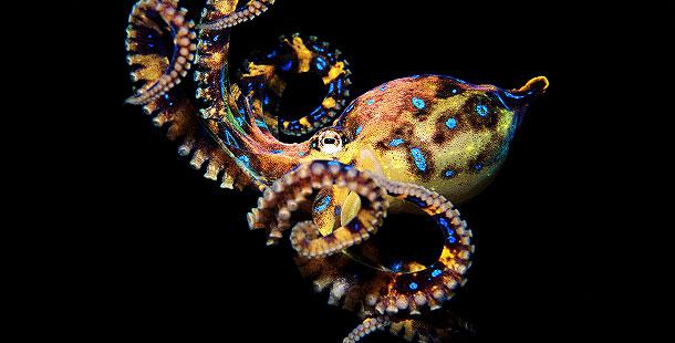 Freshwater octopus - photo#21