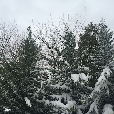 Snow covered trees during Winter Storm Jonah, the Blizzard of 2016 by Stein Your Florist Co.
