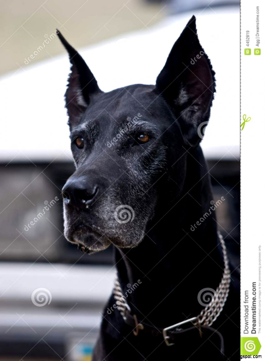 Black Dog Royalty Free Stock Images   Image 4452819