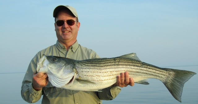 Maine striped bass fishing stripers should be big in 2012 for Maine bass fishing