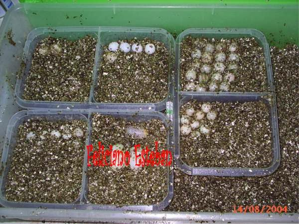 Puestas de Pelodiscus sinensis
