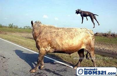 Lembu Bunuh Anjing