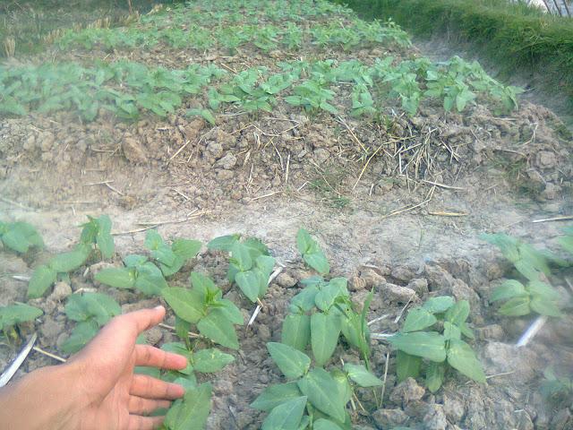 Kacang Tunggak (Tolo) Dibudidaya di Sawah