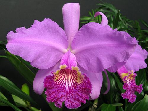 Cattleya orchid source for Orchidea cattleya