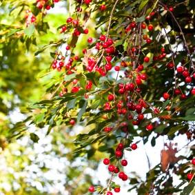 Prunus avium  Wikipedia