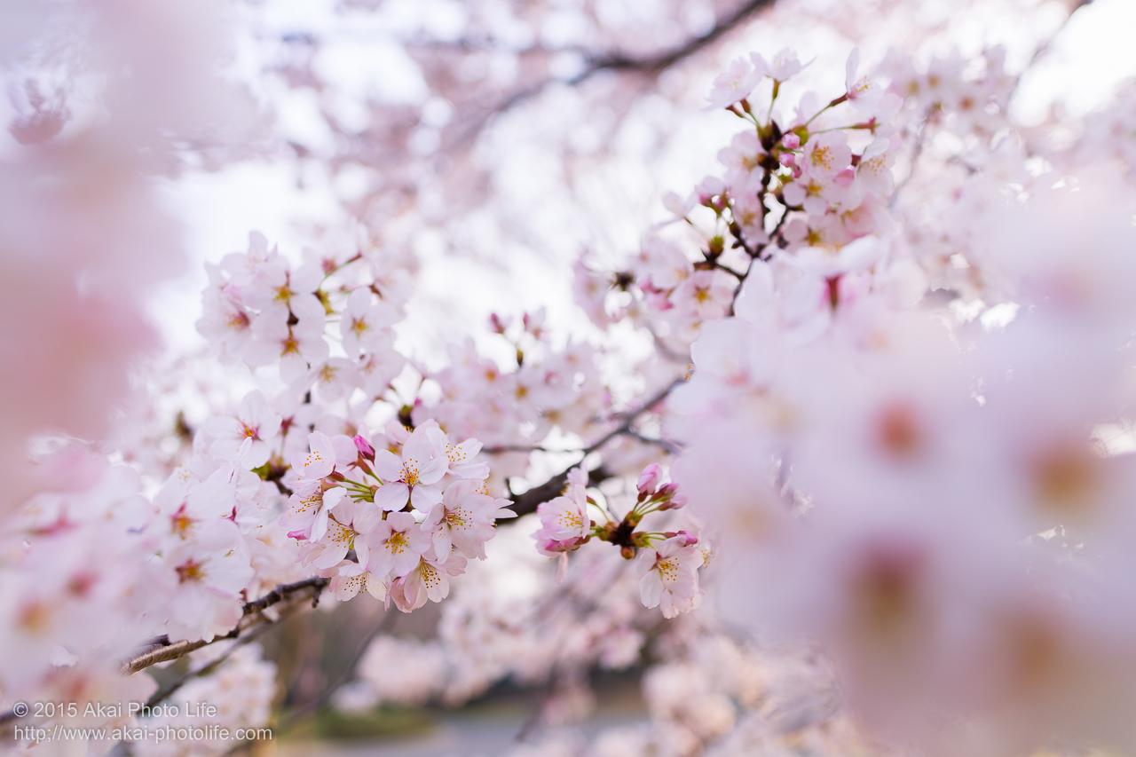 満開の桜 その1