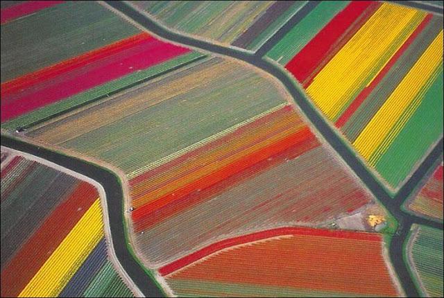 03 شهر مايو في هولندا  موسم حصاد زهور التوليب  جنة على الأرض