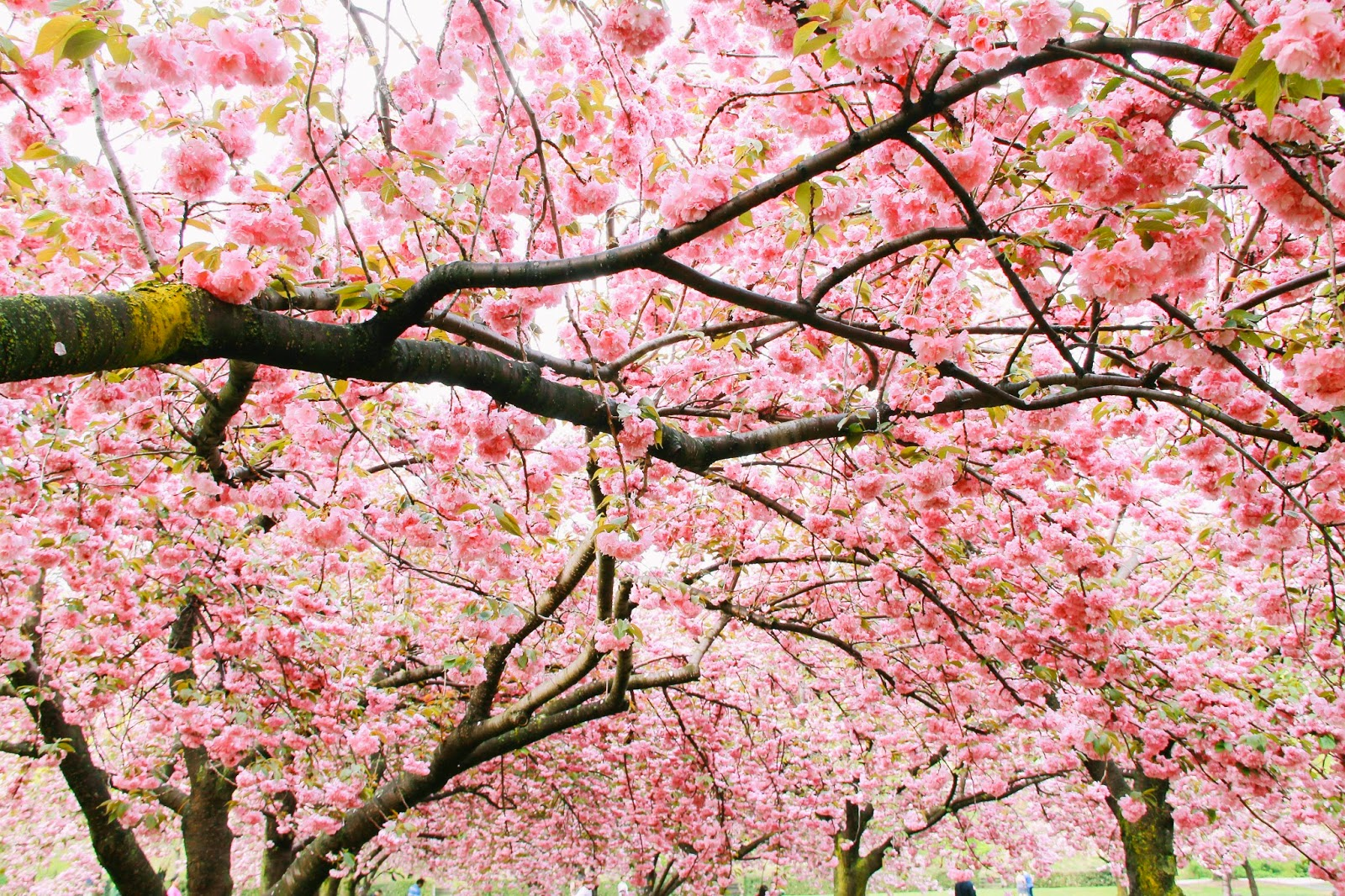cherry blossoms brooklyn new york botanical garden flowers