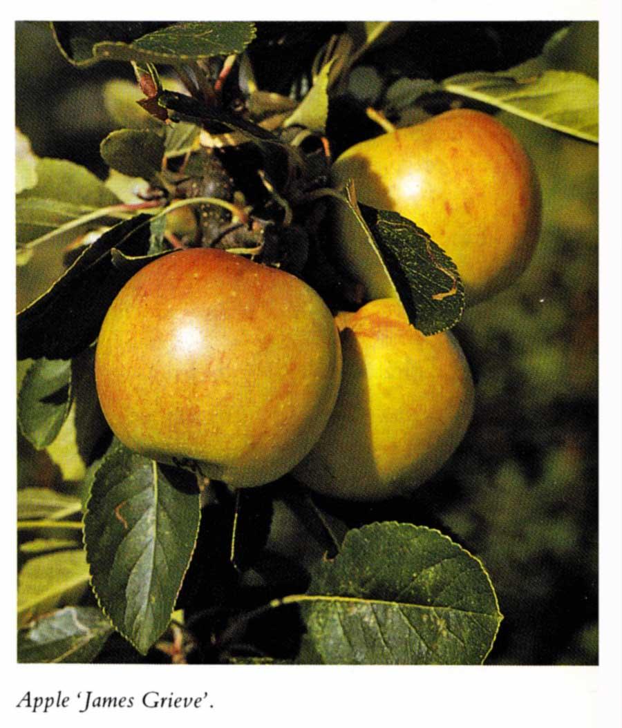 Kitchen Garden Jupiters: The Ornamental Kitchen Garden: Ǭ�8章 ƨ�木の果実: Ã�ンゴ