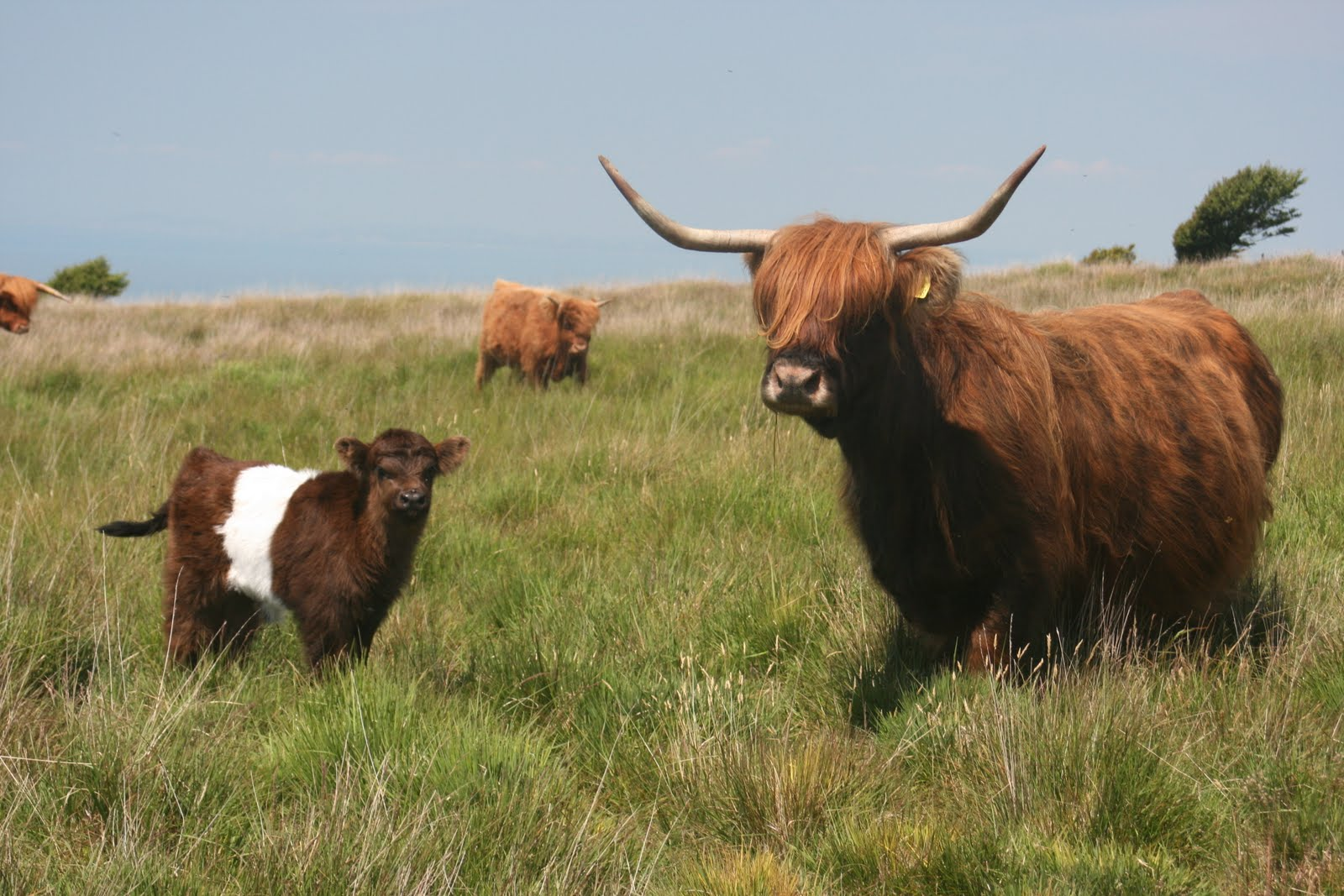 HigherBodley Farm Diary: lovely belted galloway / highland calf