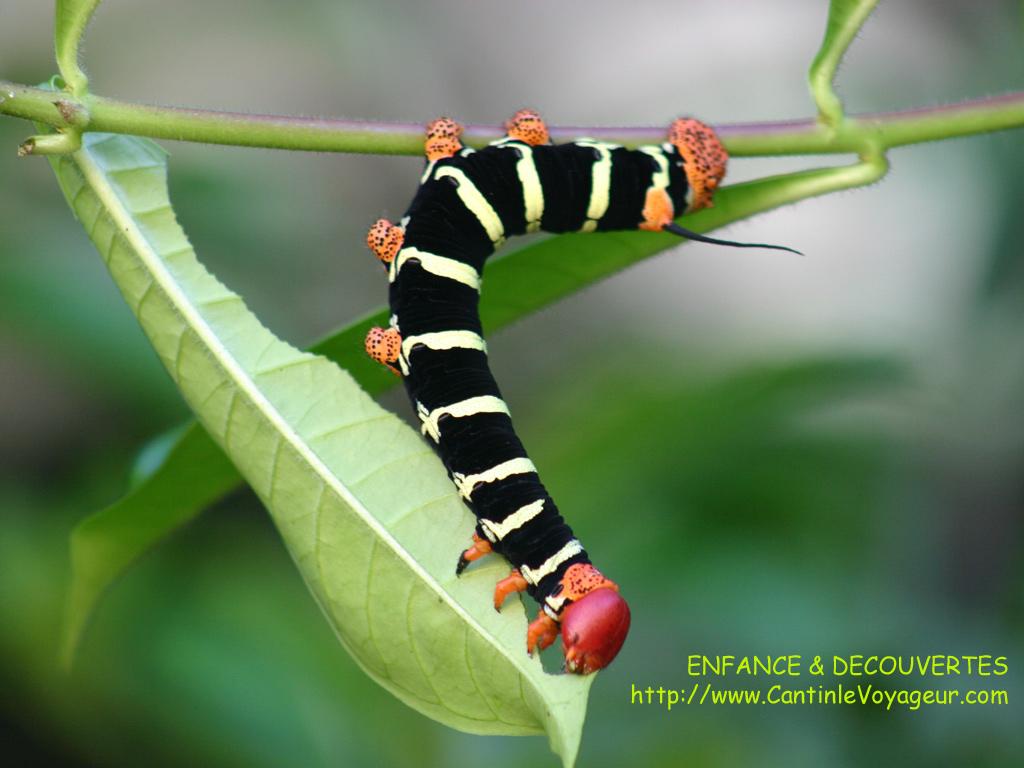 Eve and co la chenille rasta - Que mange les papillons de nuit ...