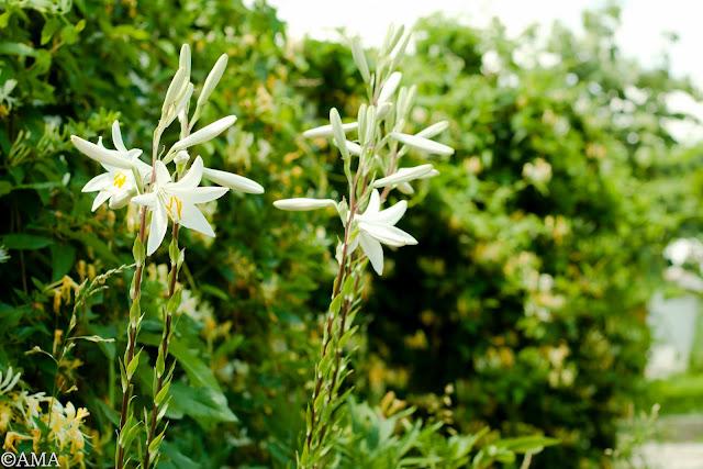Crinul alb de gradina (lilium candidum)