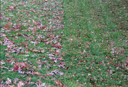 lawn showing fall leaves after one pass of mulching mower