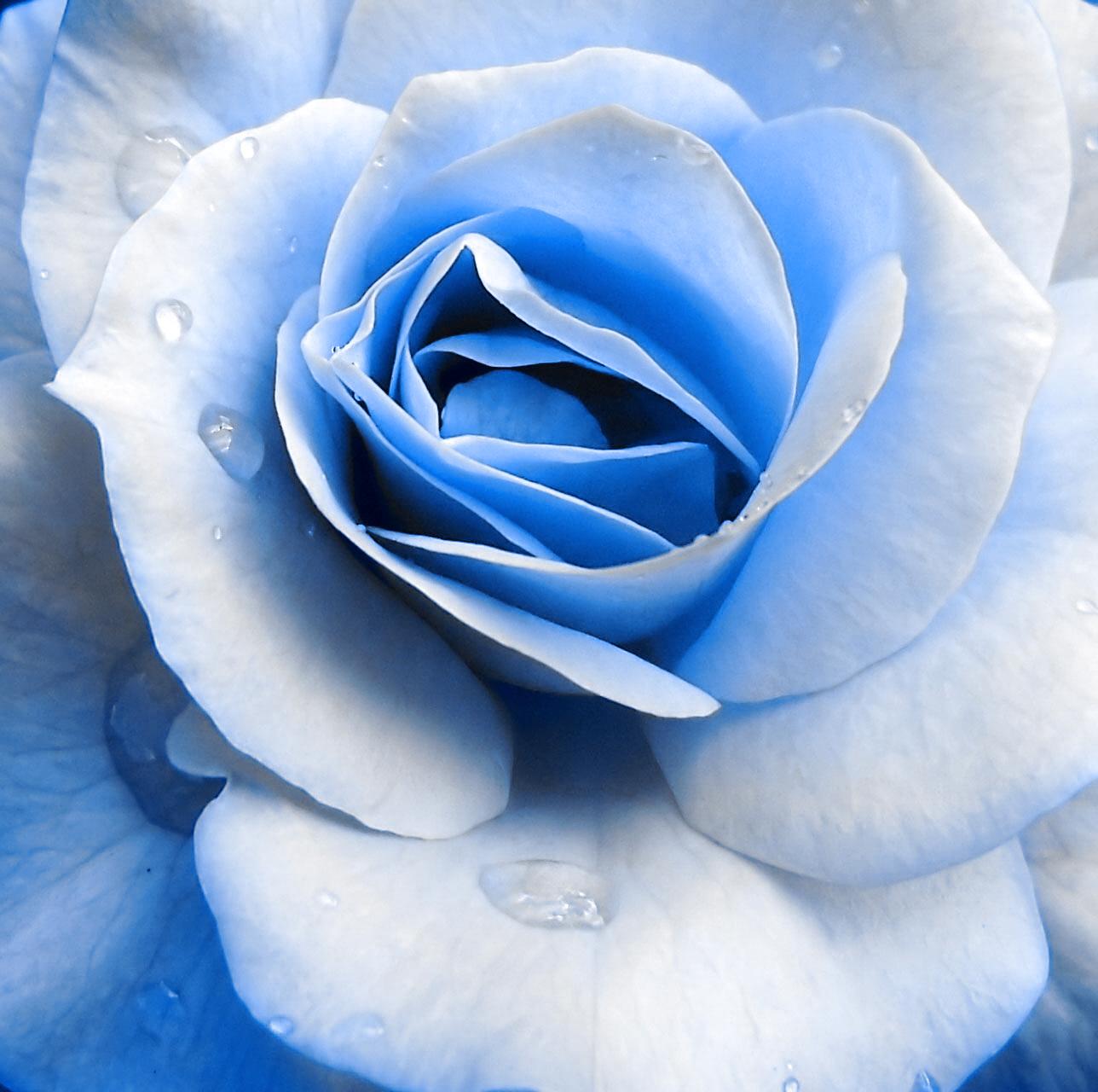 Blue Rose ~ Maybe Navy Blue