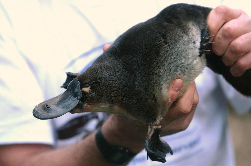Platypus_in_hand.jpg