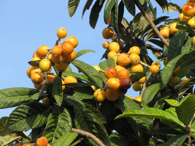 orto per tutti piante da frutto rare