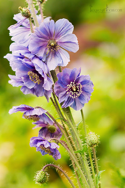 Meconopsis horridula | Prickly blue poppy