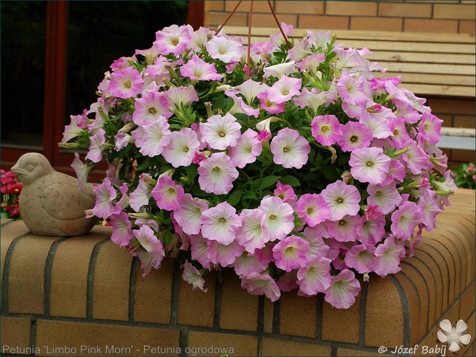 Petunia 'Limbo Pink Morn' - Petunia ogrodowa 'Limbo Pink Morn'