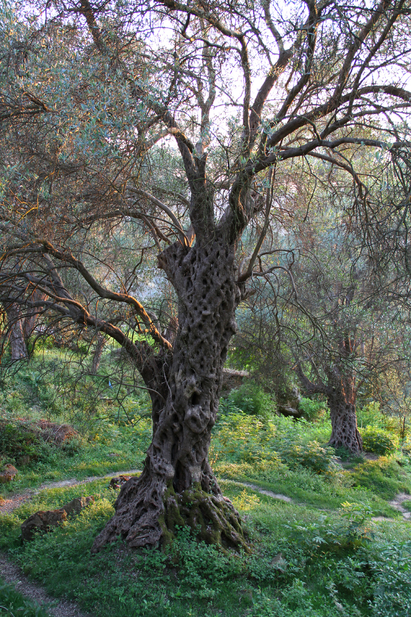 Olea ancient olive trees in mediterranean countries for What to plant under olive trees