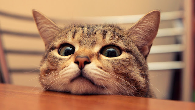 Cute Cat Head HD Wallpaper