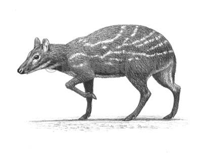 Tragulidae fosiles Dorcatherium