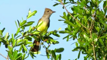 Great Crested Flycatcher Calls