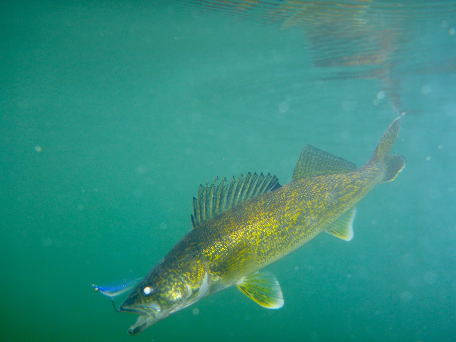 Central Alberta Fly Tying Club: Swinging Clousers for Walleye