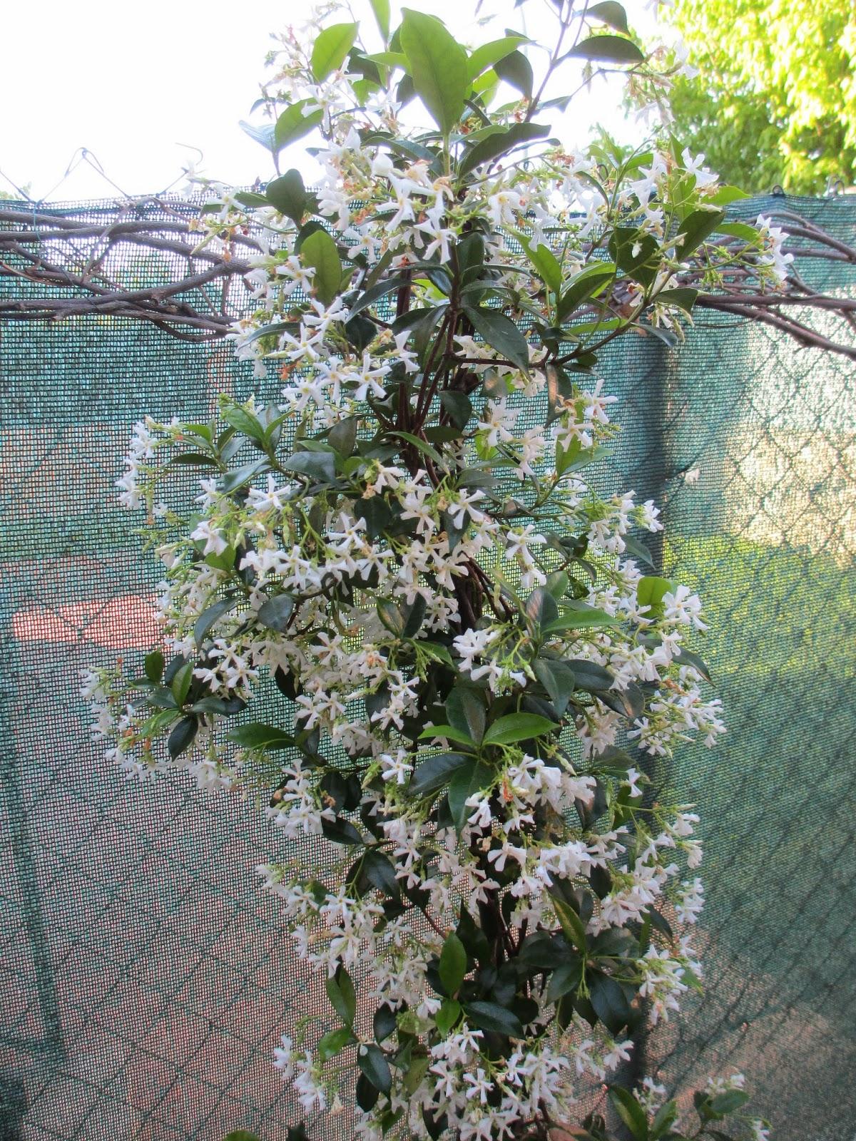 La mar de verde jasminum officinale o jazmin comun for Arbol comun