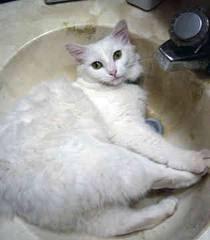 Specifically Type Turkish Angora Cat Breeds Informasi