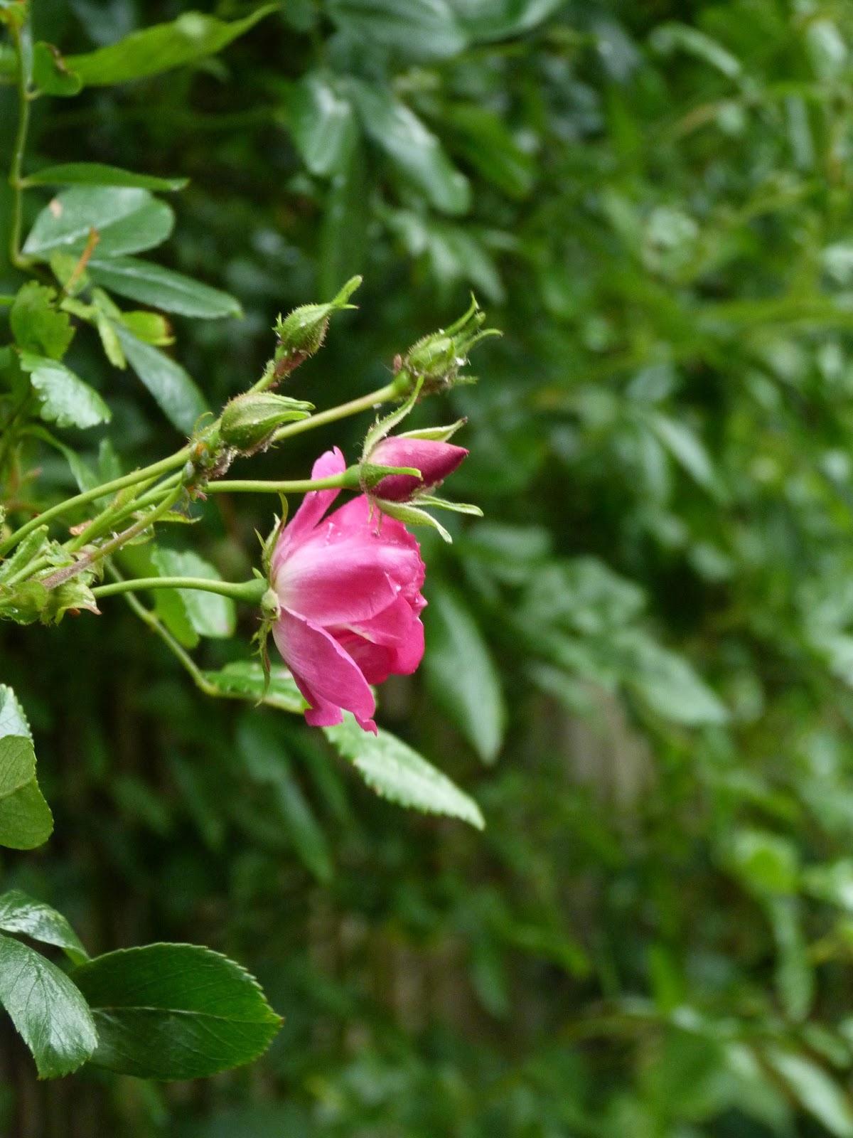 notsupermum the garden in june a rambling rose irises. Black Bedroom Furniture Sets. Home Design Ideas
