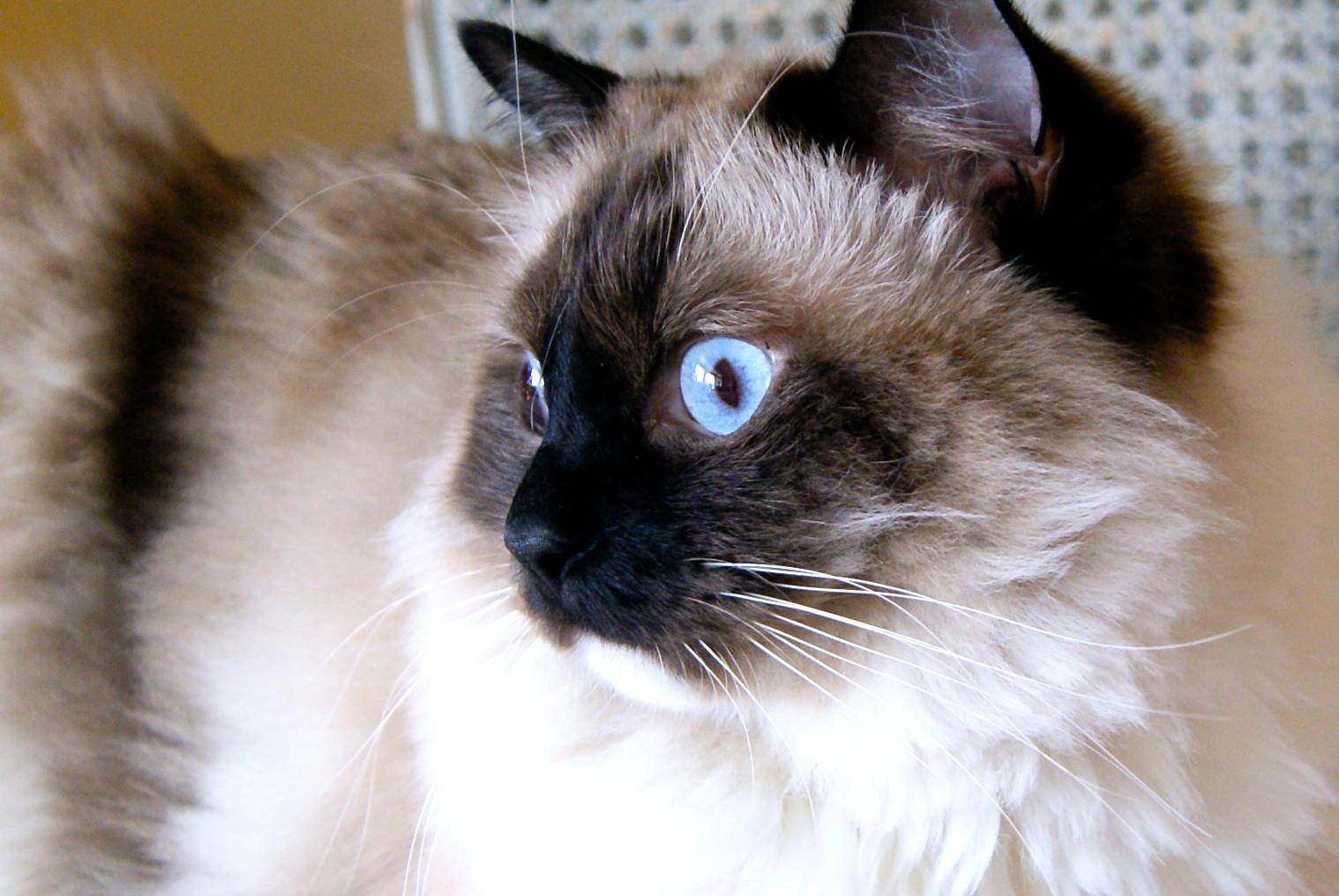 L Pendergrasts Apbiology Genetics Different Alleles For Cat Eye