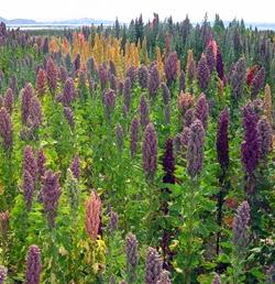 Ma poubelle est un jardin introduction du quinoa en alg rie for Plante quinoa