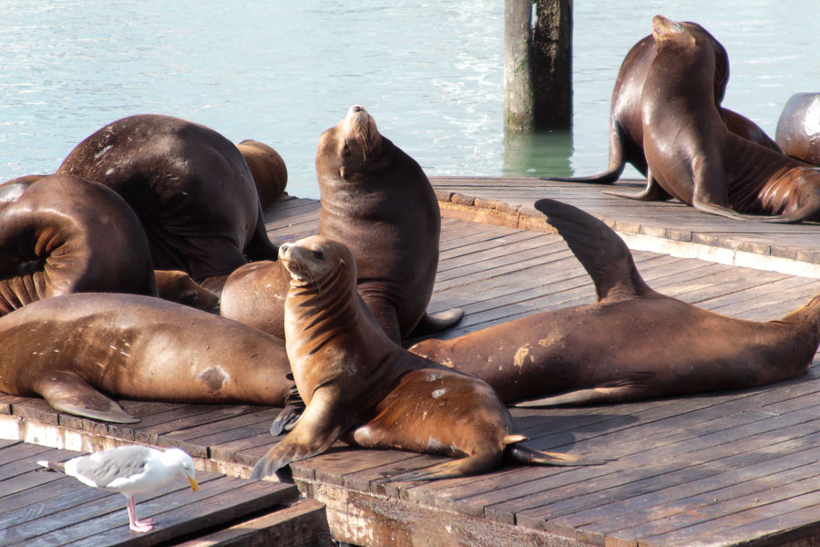 San Franscisco, sea lions, fishermans wharf