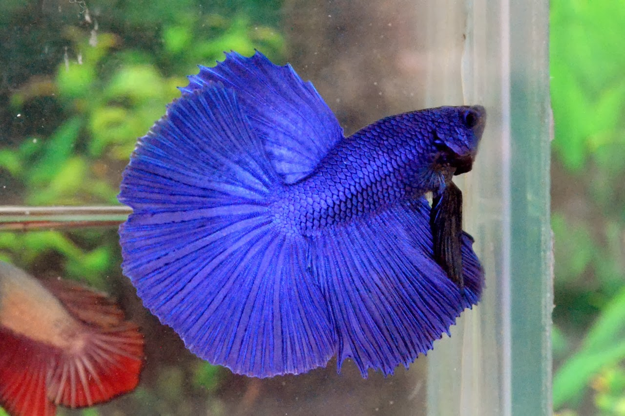 Hm611 Royal Blue Halfmoon Kriteria Kontes Betta 138