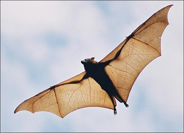 Deadly Diseases Immune Bat You Know on Bats An Animal Study