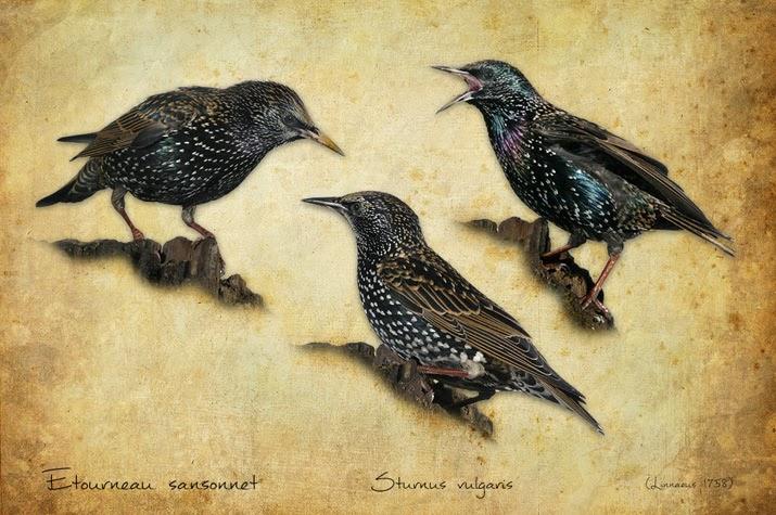 Tableaux des oiseaux du jardin pictures for Oiseaux du jardin