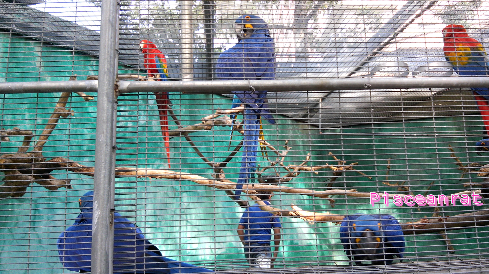 hyacinth macaw, blue parrot,