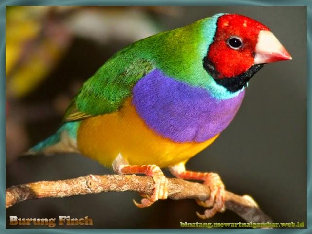 gambar burung finch