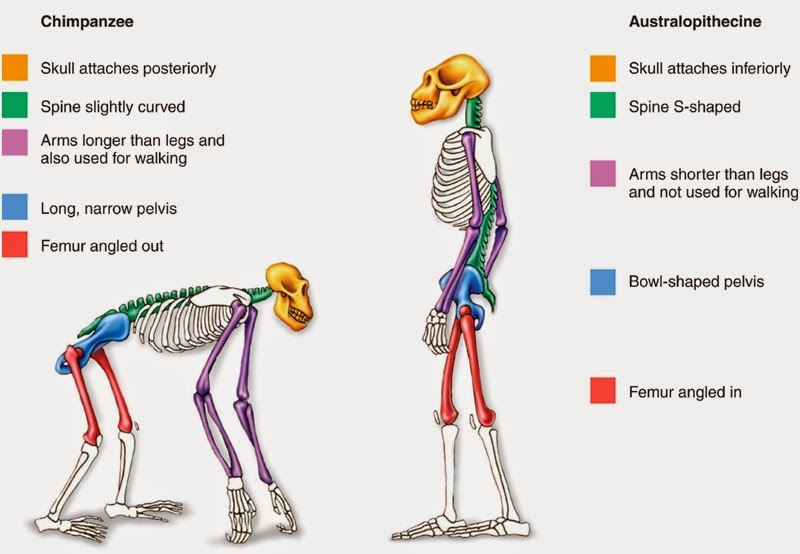 the evidence of bipedal locomotion in early hominids The origins ofhominid bipedalism, including the common assumption that early hominids were fully erect bipeds bipedalism evolved gradually-our earliest ancestors were  evidence for arm hanging behavior, which he thought was the characteristic of a common  bipedal locomotion.