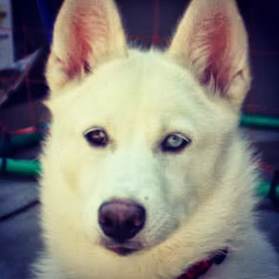 White Siberian Husky, Brown and Blue Eye
