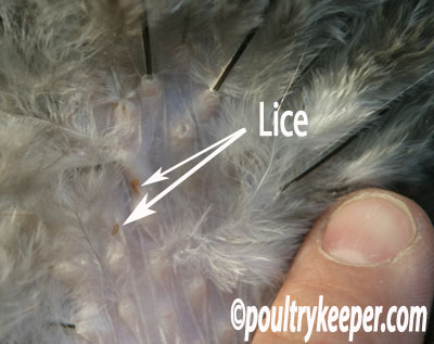 Lice On Chickens