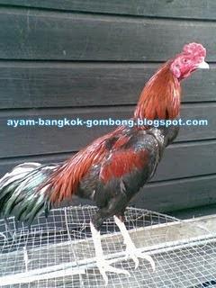 Ayam Bangkok Aduan Budidaya ayam Birma Saigon Vietnam Import Ayam laga