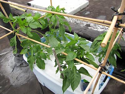 Bucolic Bushwick Rooftop Vegetable Garden Pepper Plants